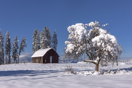 barns winter: Snow covered tree in foreground north of Hayden, Idaho. Stock Photo