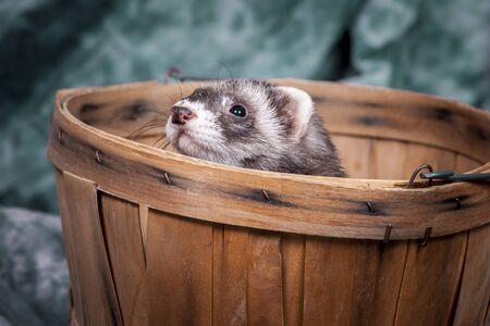 Ferret peeks out from basket.