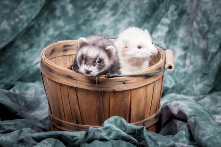 vermin: Two ferrets in basket.