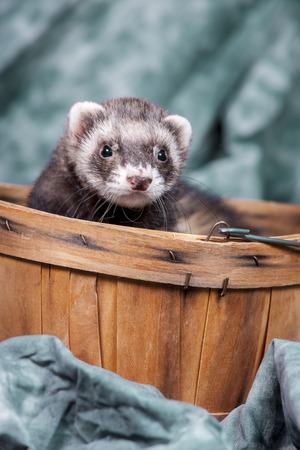 vermin: Ferret pops out from basket.