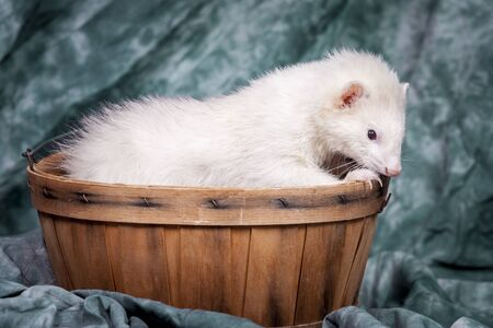 Ferret nibbles on basket.