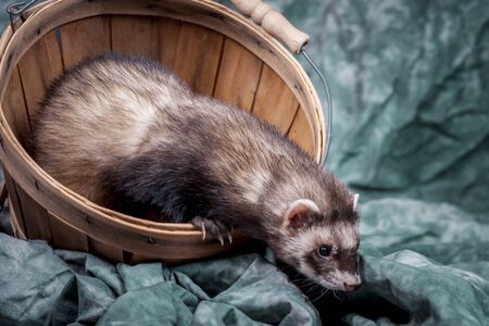 Ferret crawls out of basket.