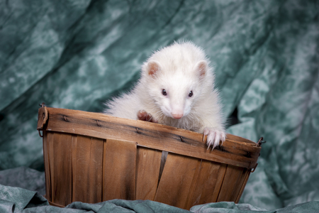 Cute white ferret.