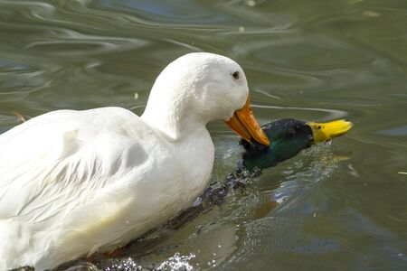 drown: Pekin duck tries to drown mallard.