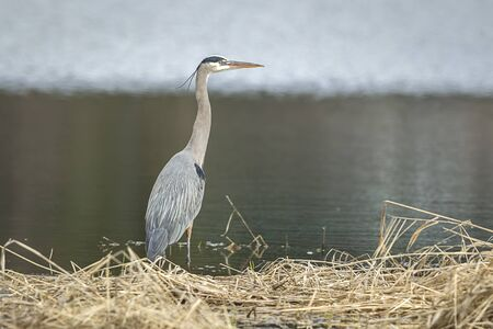 wading: Heron wading in shallow wate by Hauser Lake, Idaho. Stock Photo