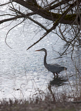 wading: Heron wading out into water by Hauser Lake, Idaho. Stock Photo