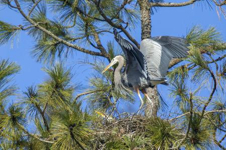 beak: Heron carries stick in beak.
