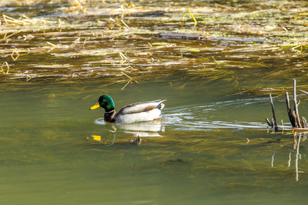 pato real: Silvestre en los humedales.