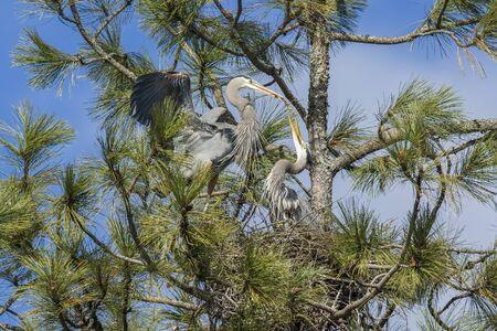 Una gran garza azul está trayendo un palo en la construcción de un nido en el árbol en Fernán, Idaho. Foto de archivo - 55803832