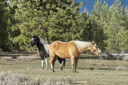 appears: Horse appears to be yawning in a field near Hayden, Idaho. Stock Photo