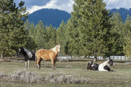 hayden: Horses gathered in a field near Hayden, Idaho. A few are standing and a few are laying down. Stock Photo