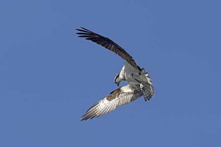 flutter: Osprey wings in forward flutter in north Idaho. Stock Photo