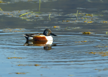 northern shoveler duck: A northern shoveler swims in the marshy water by Hauser Lake, Idaho. Stock Photo