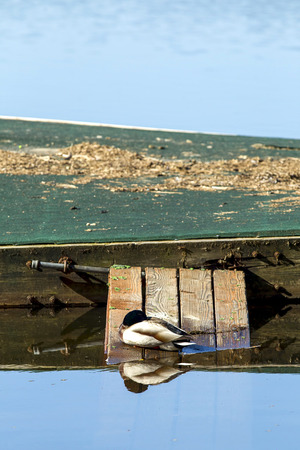 on ramp: Nestled duck sits on ramp to dock. Stock Photo