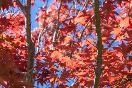 peaking: A sort of abstract image of red leaves from a tree against the bright blue sky that is peaking through. Stock Photo