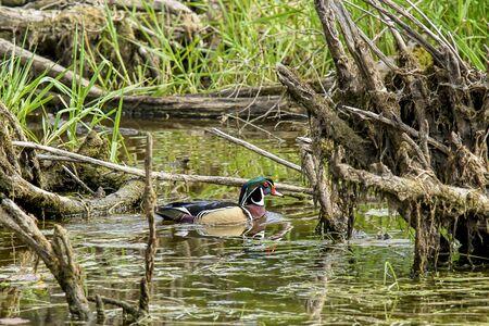 swampy: Wood duck in swampy area of Fernan Lake in Idaho.