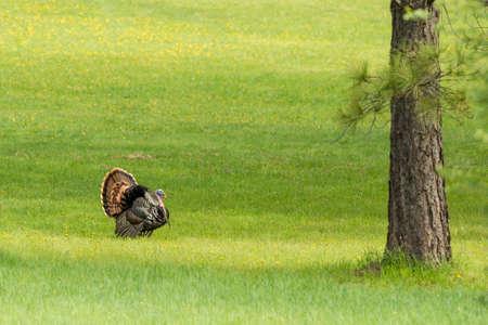 struts: Tom turkey struts around near Fernan, Idaho. Stock Photo