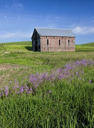 palouse: Wild flowers leading to old barn in the palouse region of eastern Washington.