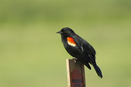 red winged: A close up of a red winged blackbird perched on a post.