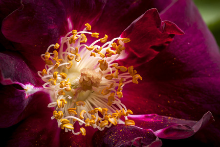 roses and blood: Close up of stamen. Stock Photo