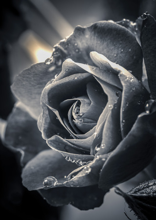 fine art: A fine art black and white image of a water drop covered rose.