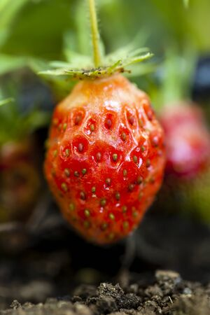 ripe: Small ripe strawberry.