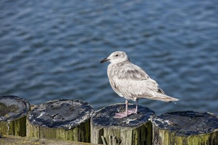 juvenile: A young juvenile seagull in Westport, Washington.