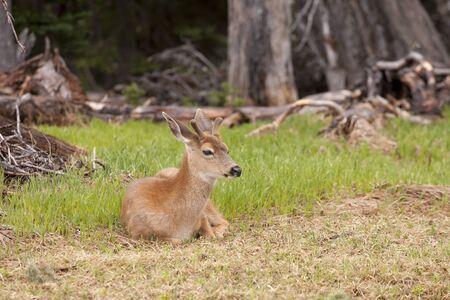 hoofed: Male black tailed deer laying in grass on top of Hurricane Ridge in Washington. with antlers is laying in the grass on top of Hurricane Ridge in Washington.