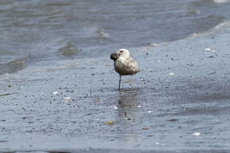shores: An immature Herring Gull with something in its beak on Damon Point in Ocean SHores, Washington. Stock Photo