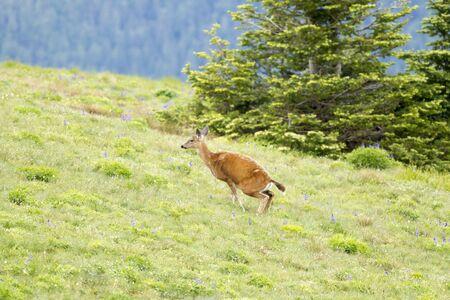 odocoileus: A black-tailed deer, Odocoileus hemionus columbianus, squats on top of Hurricane Ridge in Washington.