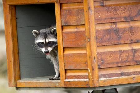 curiously: A raccoon, Procyon Lotor, looks out curiously from a feeding box along the seawall at westhaven cove in Westport, Washington. Stock Photo