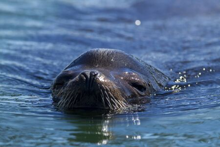 pinniped: A close up of the head of a California Sea Lion, Zalophus californianus, in the waters of Westhaven Cove in Westport, Washington. Stock Photo