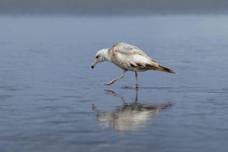 shores: Herring gull walks in the wet sand on Orange City Beach in Ocean Shores, Washington.