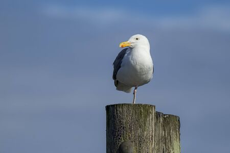 larus: Herring gull perched on one leg at Westhaven Cove in Westport, Washington.