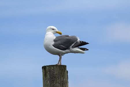 larus: Seagull looks back the other way at Westhaven Cove in Westport, Washington.