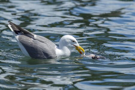 scavenge: A Herring Gull, Larus Argentatus, feeds on a dead bird in Westhaven Cove in Westport, Washington.