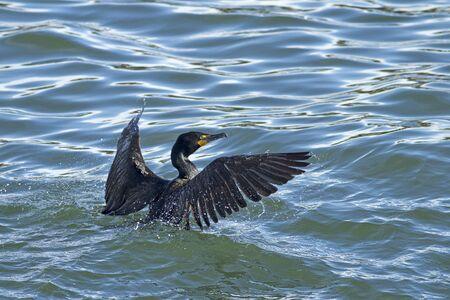 phalacrocoracidae: Cormorant in the water at Westhaven Cove in Westport, Washington.