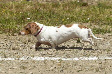 wiener dog: Short Dachsund in wiener dog race in Rathdrum, Idaho.