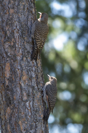 flicker: Two Northern Flickers in a tree in Rathdrum, Idaho.