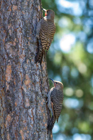 Pair of Northern Flickers on tree in Rathdrum, Idaho. Stock Photo