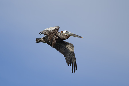 Brown pelican in the sky above Westhaven Cove in Westport, Washington.