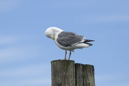 preen: An adult Herring Gull perched on a post preening itself at Westhaven Cove in Westport, Washington. Stock Photo