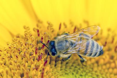 gathers: Bee gathers pollen. Stock Photo