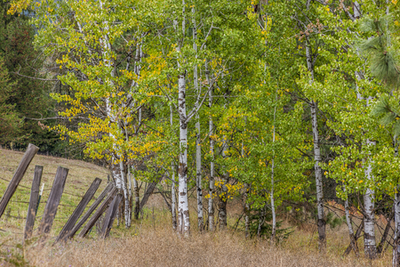 Fence leads to birch trees in Idaho. 写真素材