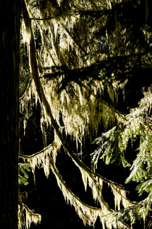 backlit: Green moss on a tree is backlit from the sunlight. Stock Photo