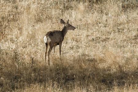 white tail: White tail deer walking in grass on Sun Mountain near Winthrop, Washington. Stock Photo