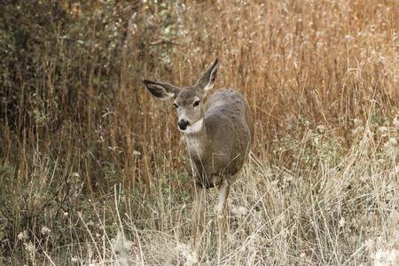white tail: White tail in the tall grass on Sun Mountain near Winthrop, Washington.