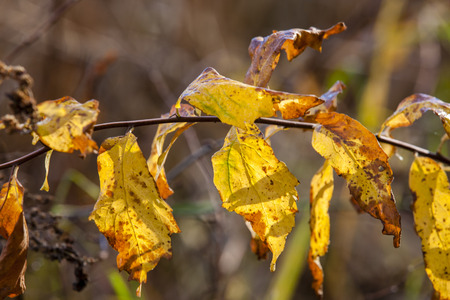 wilting: A close up image of yellow  wilting leaves on a small branch.