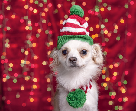 chrstmas: A small chihuahuaterrier mix wears a christmas cap and scarf with lights in the background.