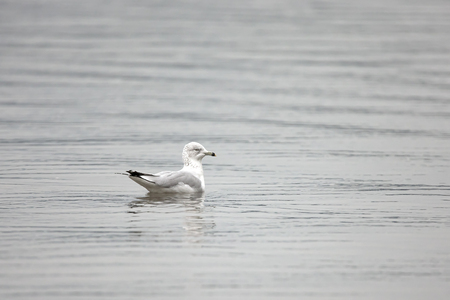 A seagull floats on the water  at a lake in Coeur d'Alene, Idaho 版權商用圖片